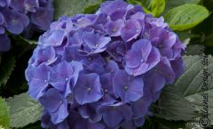 Decisions, Decisions. Recent Hydrangea Introductions.